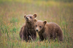 brothers... (Mac Danzig Photography) Tags: bear brown cute nature alaska cub wildlife coastal grizzly silversalmoncreeklodge tnc11