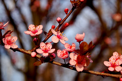 flowering plum tree (amlapedalemap) Tags: floweringplum floweringplumtree walkaroundmyyard
