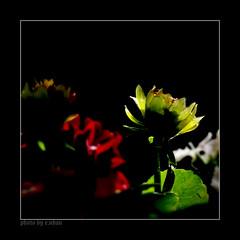 Don't Leave (e.nhan) Tags: flowers light red black flower art nature closeup landscape colorful colours dof bokeh arts backlighting enhan