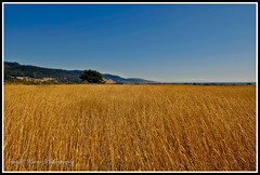 Carmel (Gary P Kurns Photography) Tags: ocean california coast nikon wheat d2x carmel onone mygearandme