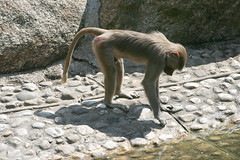 Junger Mantelpavian