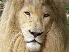 Dare to look in my eyes! (Milan Rui) Tags: beautiful beauty face animal zoo lion albino beast whitelion topshots natureselegantshots
