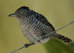 Choca-barrada(Thamnophilus doliatus) (Claudia Covolan) Tags: bird pssaro ave supershot thamnophilusdoliatus chocabarrada avianexcellence natureselegantshots panoramafotogrfico natureandpeopleinnature