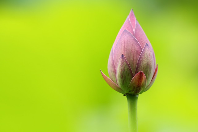 Lotus in Green
