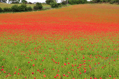 The Poppy Fields Are Almost Ready (JRT ) Tags: flowers wallpaper england sky grass nikon windy poppy poppyfields tress dull poppys bewdley stourportonsevern d300s johnwarwood flickrjrt