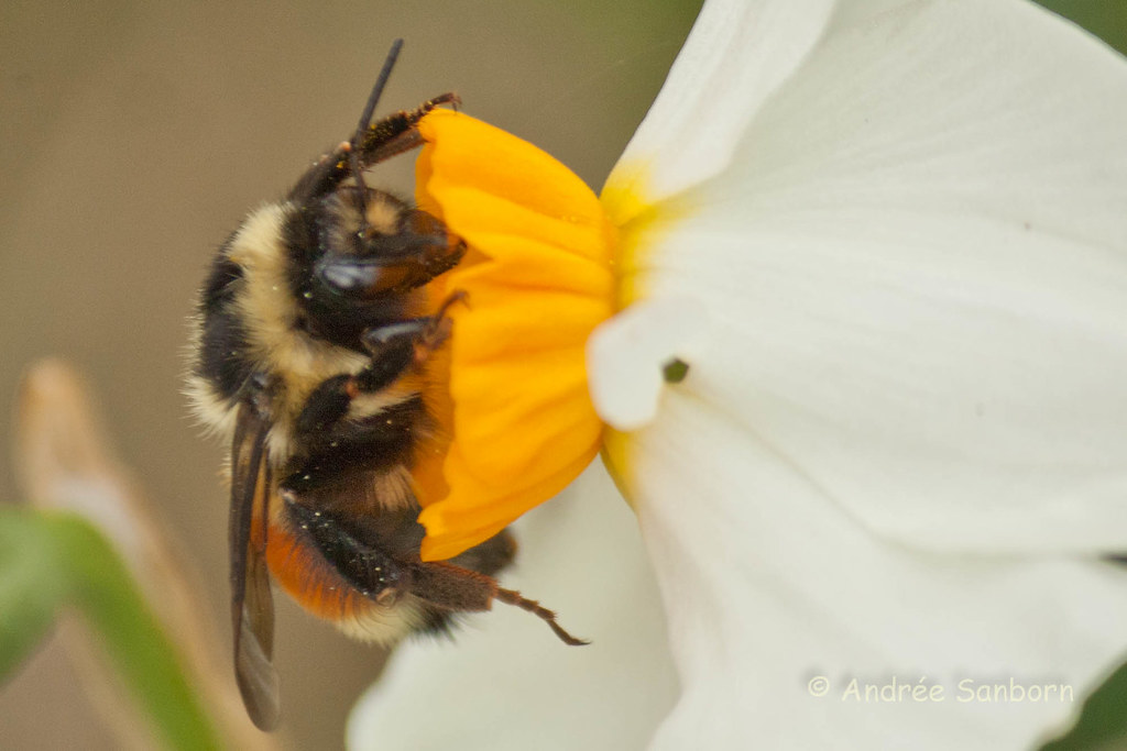 Narcissus and Bumblebee-7.jpg