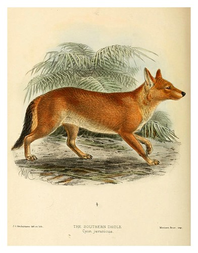 015-Perro salvaje asiatico-Dogs jackals wolves and foxes…1890- J.G. Kulemans
