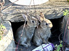 Baby Rabbits. (Mark Milham.) Tags: rabbit nature canon kent sigma minster thanet milham babyrabbit babyrabbits