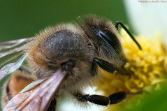 Pollen Monster (S.J. Trinidad & Tobago Nature) Tags: flower macro nature bee upclose