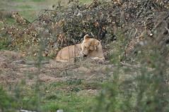 Lionne (Douce Folie) Tags: lion du puma parc tigre lynx flin panthre lopard gupard lionne flins tigredesibrie lionceau tigreblanc canadalynx panthredesneiges panthrenoire couguar lynxboral chatdudsert pardelleservalcaracalmanulmargaychat