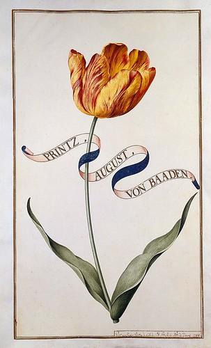 002-tulipan2-Karlsruher Tulpenbuch - Cod. KS Nische C 13- Badische LandesBibliotheK
