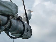 Goland  bord du voilier (chrdraux) Tags: goeland bird oiseau mer marin mat bois cordage voiles nuage ciel gris bateau boat stmalo bordduvoilierlerenard nature animal bretagne