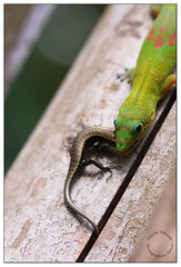 Miam ! [EXPLORED] (Pillot) Tags: portrait macro nature canon eos reptile or wildlife january vert 100mm lizard gecko usm janvier indien f28 ef olivier 1880 976 lzard macrophotography ocan phelsuma photographies 2011 mayotte poussire laticauda macrophotographie comores ocanindien boettger 40d esnault pillot canaldumozambique olivieresnaultcom olivieresnaultphotographiesnature geckopoussiredor