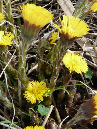 Colt's-foot (Tussilago farfara) by Peter Orchard