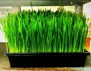 Healthshop Wheatgrass