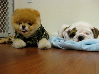 boo_Pomeranian_Dog_37