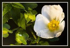 IMG_6328 Costa Blanca plant 56 (jaro-es) Tags: flowers espaa flower macro nature canon spain flora natur flor natura blume makro spanien abigfave spanelsko naturewatcher eos450 fleursetpaysages floraespaa