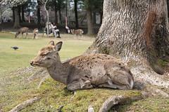 Deer in Repose