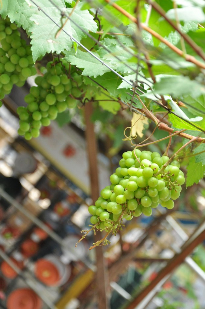 Fruity day of grapes 葡萄乐 ...