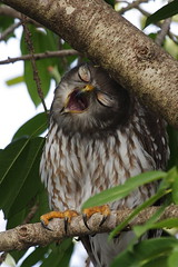 barking owl towncommon 270311 04 (ed1944) Tags: barkingowl ninoxconnivens townsvilletowncommon