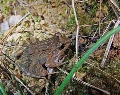 Frog, Mitsinjo Reserve, Andasibe (Niall Corbet) Tags: nationalpark amphibian frog madagascar andasibe anura mitsinjo