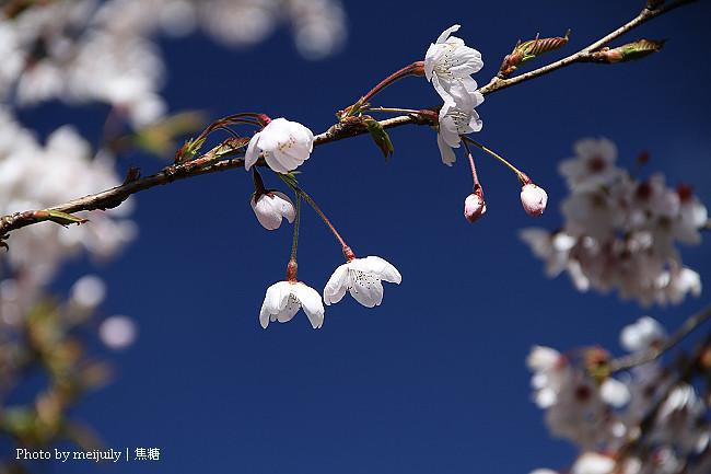 2011阿里山櫻花季晴天版18