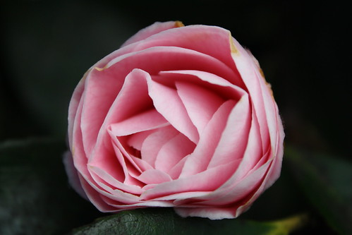 camelia, pretty in pink.