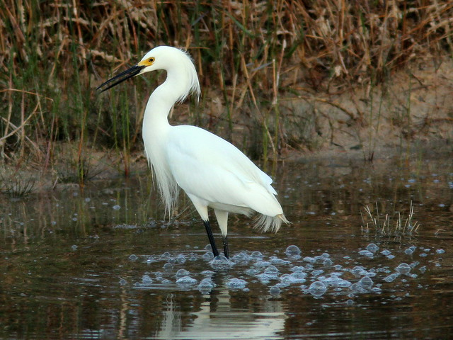 Snowy Egret and bubbles 20110406