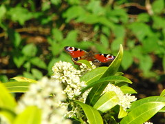 Peacock Butterfly, Mount Pleasant (Alex Staniforth: Wildlife/Nature Photography) Tags: flowers alex butterfly spring peacock casio april staniforth exfh20
