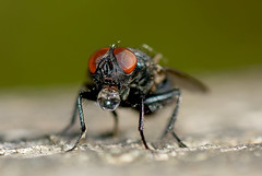Blowing Bubbles (Chris McLoughlin) Tags: wild macro nature fly wildlife 100mm bubble rspb primelens sal100m28 chrismcloughlin fairburningsrspb sonyalpaa300