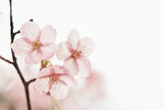 *Sakura (fangchun15) Tags: park pink flower film japan zeiss tokyo 桜 sakura cherryblossoms 東京 櫻花 nikonfe2 春 zf 小金井公園
