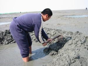 以前退潮時,海邊的村婦人手一個竹簍和鐵耙子,便撩到泥質灘地去捕捉。圖片來源:圖片來源:http://www.sres.chc.edu.tw/2003sres/23.htm