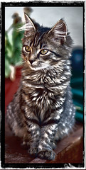 missya.jpg (picsie74) Tags: cats animal cat kitten exposure crop effect hdr highdynamicrange cutecat tricolour cutekitten smallcat beautifulcat domesticshorthair beautifulkitten outdoorcatcloseup