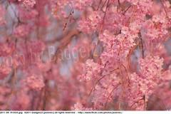 2011-04-14 0555 Sakura, Prunus serrulata, the weeping cherry tree blossoms (Badger 23 / jezevec) Tags: park pink flowers flower tree cherry spring blossom indianapolis blossoms indiana anh bloom  flowering sakura blooms holliday weeping hoa blooming prunus cerezo weepingcherry    kirschblte   jezevec cvijet serrulata shidarezakura prunusserrulata o krsbr   cseresznyevirg japanskt  hoaanho kirsuberjatr badger23 namumulaklak  trenjin    seresang trenjincvijet