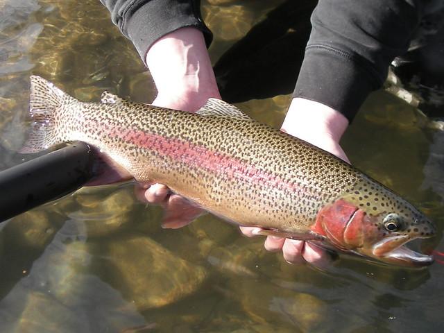 wild mckenzie river trout