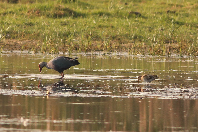 Purple Moorhen and Wood Sandpiper watching prey