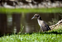 Maçarico (?) (LúciaAraújo) Tags: ave goiânia parquevacabrava
