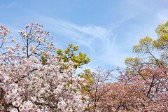2011 Cherry Blossom Viewing in Japan-Mint.OSAKA #1 (reo.matsumura) Tags: flower japan landscape spring sony osaka cz carlzeiss japanesecherry japanmint dslra350 sal2470z 350 variosonnart2470mmf28za