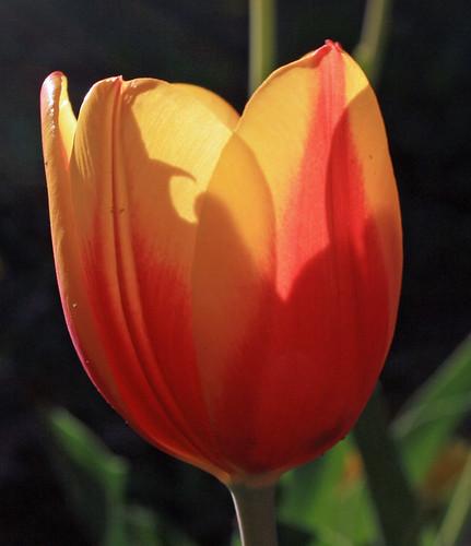 Sunlit Tulip