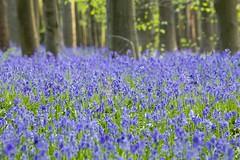 Hyacinthoides non-scripta - Common bluebell