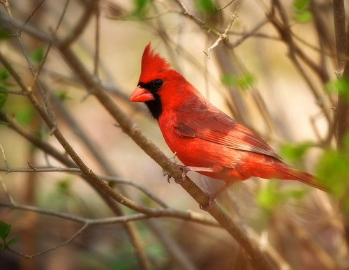 Cardinal by Angel Cher ♥