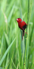 Crimson and Green (gatordr) Tags: bird wildlife australia aves finch crimsonfinch