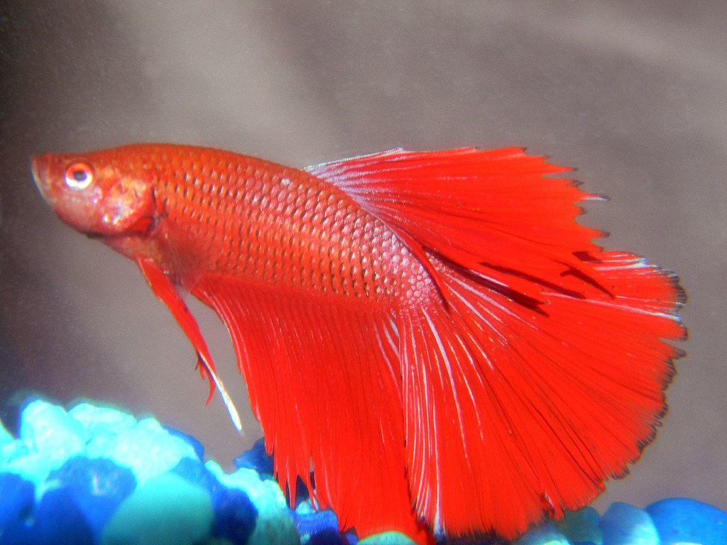 The world 39 s best photos of halfmoon and pet flickr hive mind for Halfmoon betta fish
