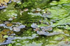 Frosch (Michael Döring) Tags: frog bochum frosch d300 botanischergarten querenburg ruhruniversitätbochum michaeldöring afs105microg