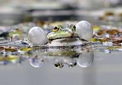 Frosch (Michael Döring) Tags: inspiration group frog bochum frosch the d300 botanischergarten querenburg ruhruniversitätbochum afs70200 michaeldöring
