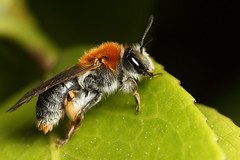 Miner bee having a rest -  Andrena haemorrhoa, female. (Lord V) Tags: macro bug insect bee minerbee andrenasp