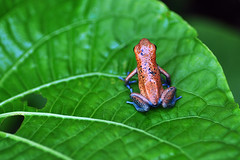 Isla Cristbal - Oophaga Pumilio Cristobal (Drriss) Tags: travel macro rainforest wildlife frogs panama amphibians centralamerica herpetology anura dendrobatidae poisondartfrogs pumilio taxonomy:order=anura taxonomy:binomial=oophagapumilio taxonomy:family=dendrobatidae taxonomy:species=pumilio taxonomy:genus=oophaga taxonomy:superfamily=dendrobatoidea taxonomy:subfamily=dendrobatinae