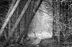 [フリー画像] 自然・風景, 森林, 樹木, カナダ, モノクロ写真, 201104241900
