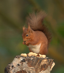 Nuts About Nuts!!    (Red Squirrel) (marsch1962) Tags: red tree squirrel eating tail nuts stump tufts nikon300mmf4 nikond300s