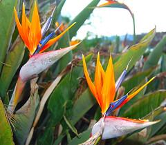 flowers birdsofparadise